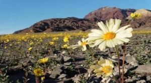 Vallée mort floraison